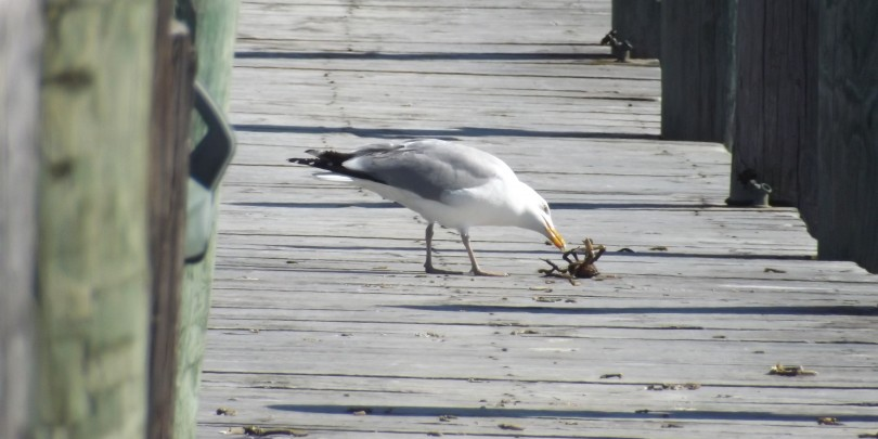 Seagul eats a crap for lunch  at F.L. Tripp & Sons Marina